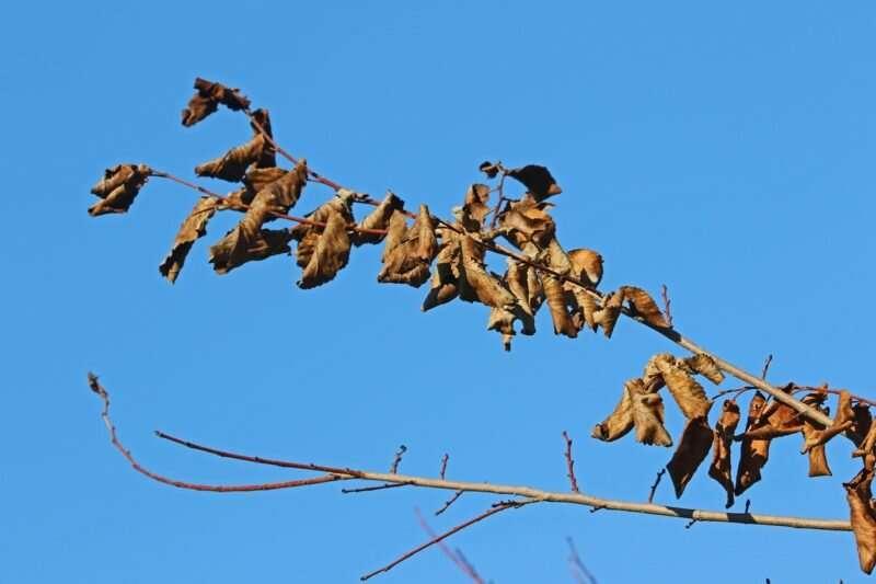 Novel insect vectors and host trees harbor Dutch elm disease
