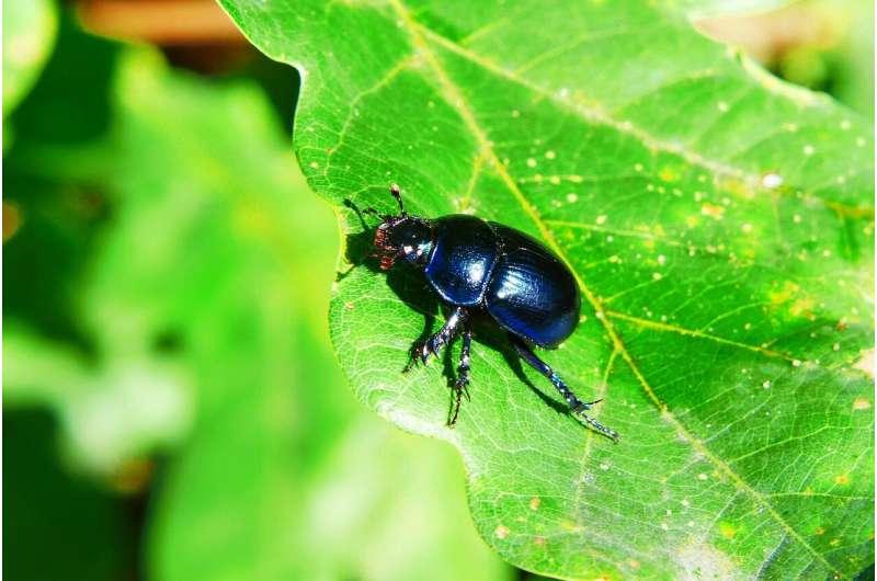 oak beetle