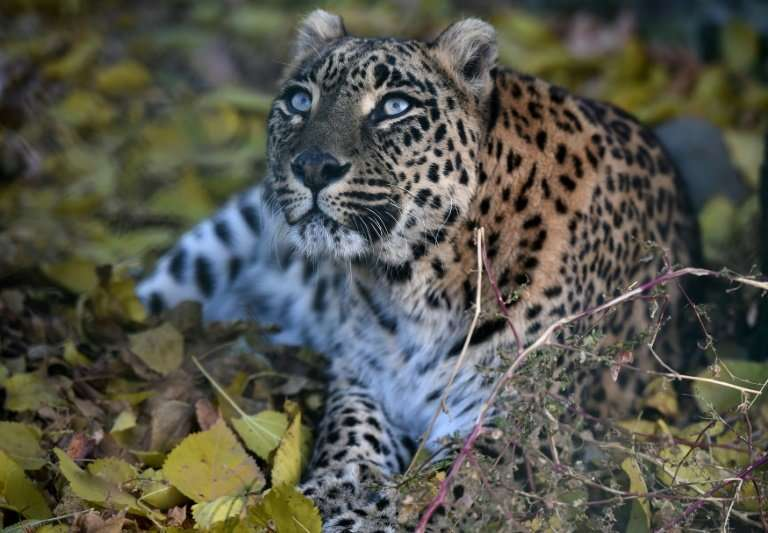 Official estimates suggest there are between 12,000 and 14,000 leopards in India