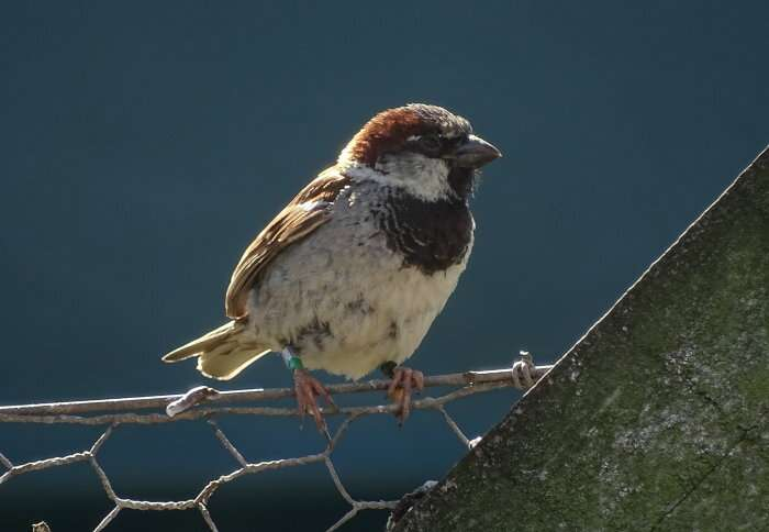 Older male sparrows seem to father more chicks by getting more sperm to the egg