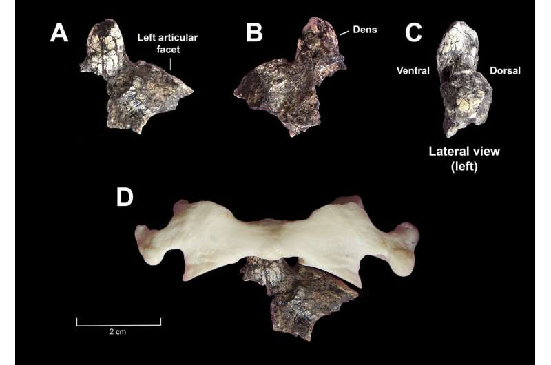 Oldest axial fossils discovered for the genus Australopithecus