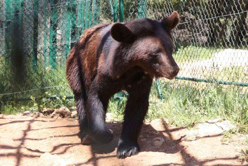 One of four bears living in Jordan's Al Ma'wa For Nature and Wildlife sanctuary which cares for animals rescued from war zones