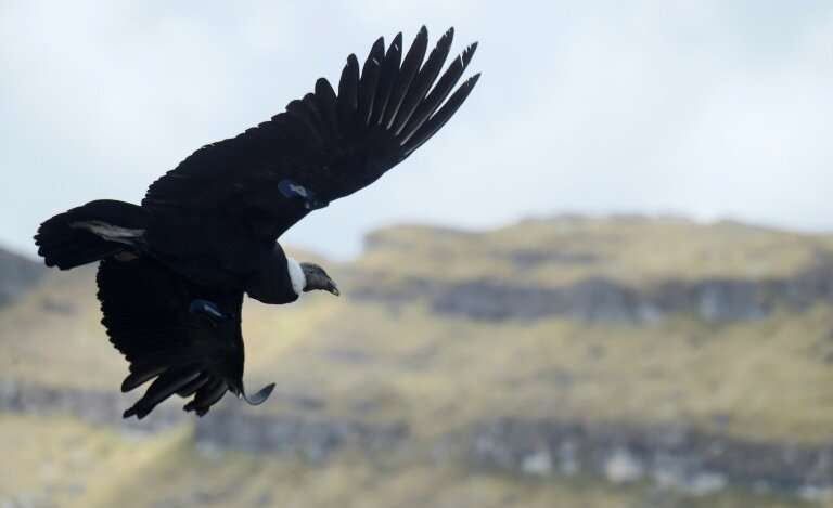 One of two Andean condors that recovered from possible poisoning takes flight after being released back into the wild in Colombi