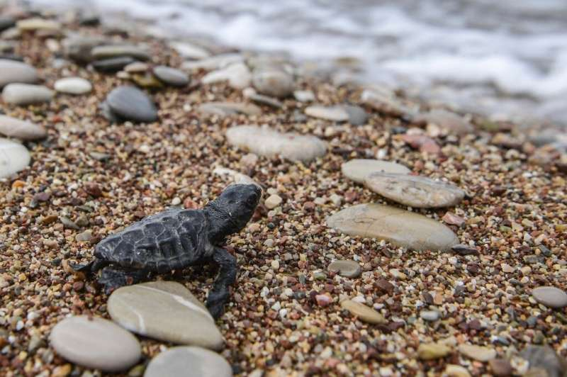 Only one in 1,000 of the tiny loggerhead turtle hatchlings will survive