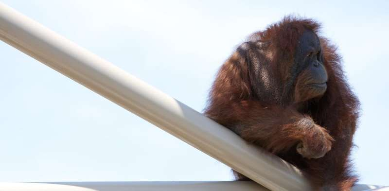 Orangutans can play the kazoo – here's what this tells us about the evolution of speech
