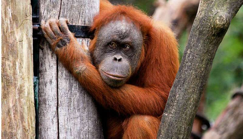 Orangutans make complex economic decisions about tool use depending on the current 'market' situation