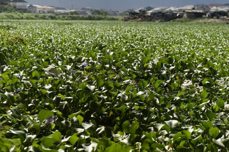 Originally from South America, the plant has caused chaos across several countries in Africa
