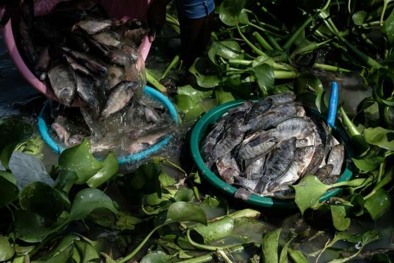 Painful for local fishmongers to see, tilapias imported from China are defrosted at Kisumu's Kichinjio beach.