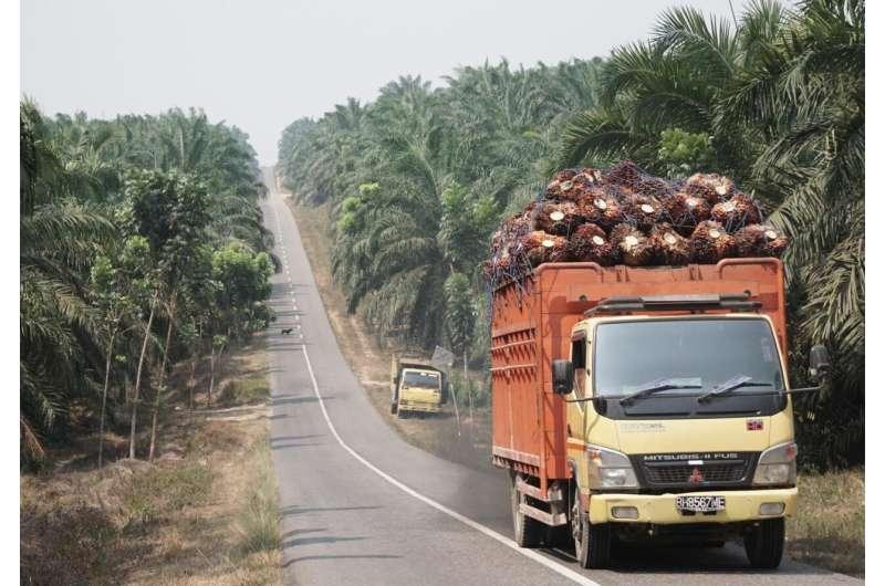 Aceite de palma: ¿Menos fertilizante y sin herbicida pero con el mismo rendimiento?