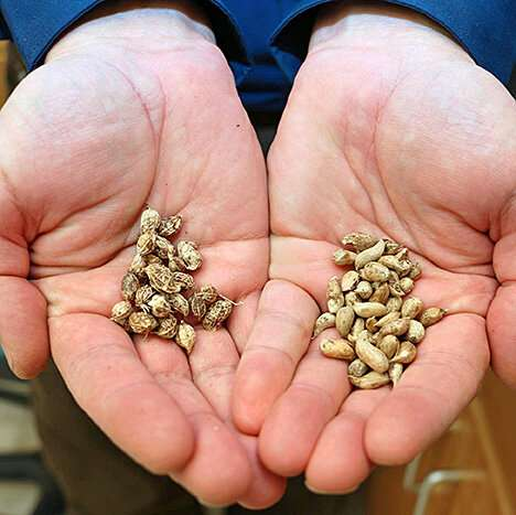 Peanut genome sequenced with unprecedented accuracy
