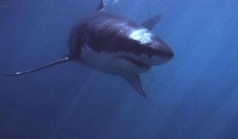 """People think of the blockbuster """"Jaws"""" film when they see great white sharks"""