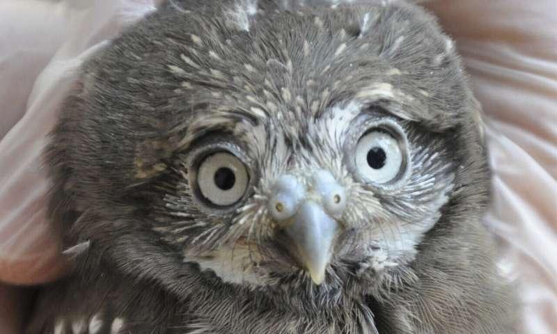 Phoenix Zoo flying high over 3-week-old baby pygmy owls