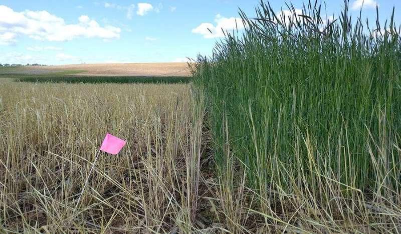 La estrategia de cultivo de cobertura de 'plantación verde' puede ayudar a los agricultores a lidiar con los manantiales húmedos