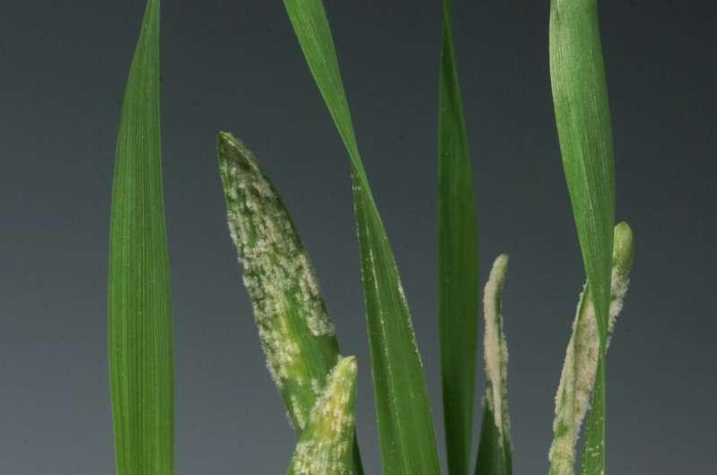 Las plantas pueden evitar a los intermediarios para reconocer directamente los hongos que causan enfermedades.
