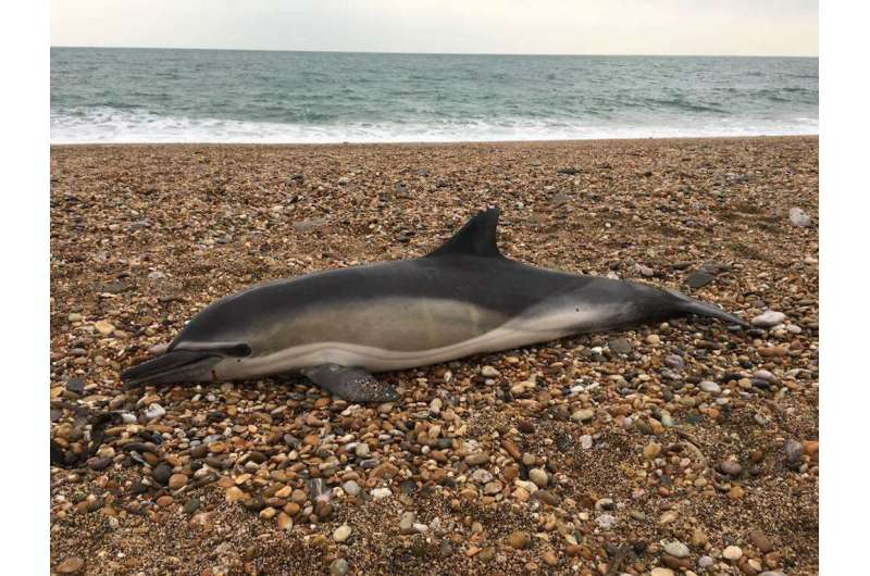 Plastic in Britain's seals, dolphins and whales