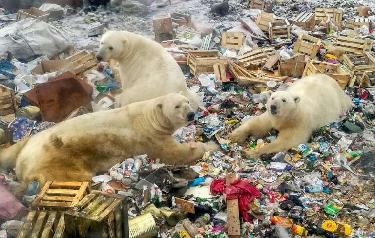 Polar bears feed at a garbage dump near the village of Belushya Guba, on the remote northern Russian archipelago of Novaya Zemly