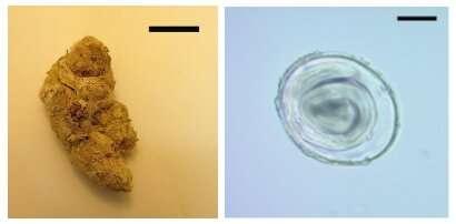 Prehistoric puma poo reveals oldest parasite DNA ever recorded
