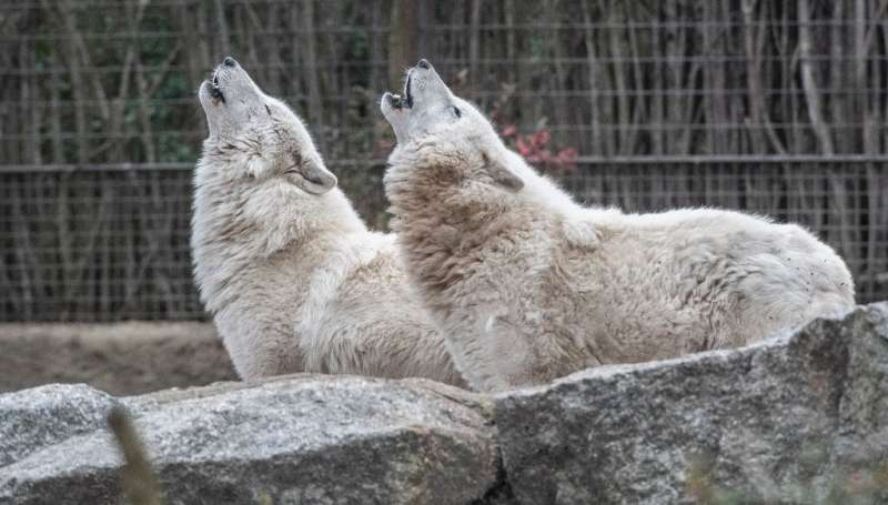 Previously, wolves could only be culled in Germany if they were deemed to spell a real threat to human lives—but livestock farme