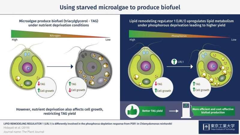 Protein factors increasing yield of a biofuel precursor in microscopic algae
