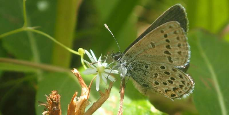 Rare butterfly species more abundant in older, wider seismic lines