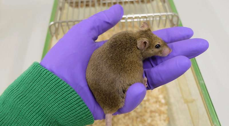 **Reduced food intake in old mice can no longer improve health
