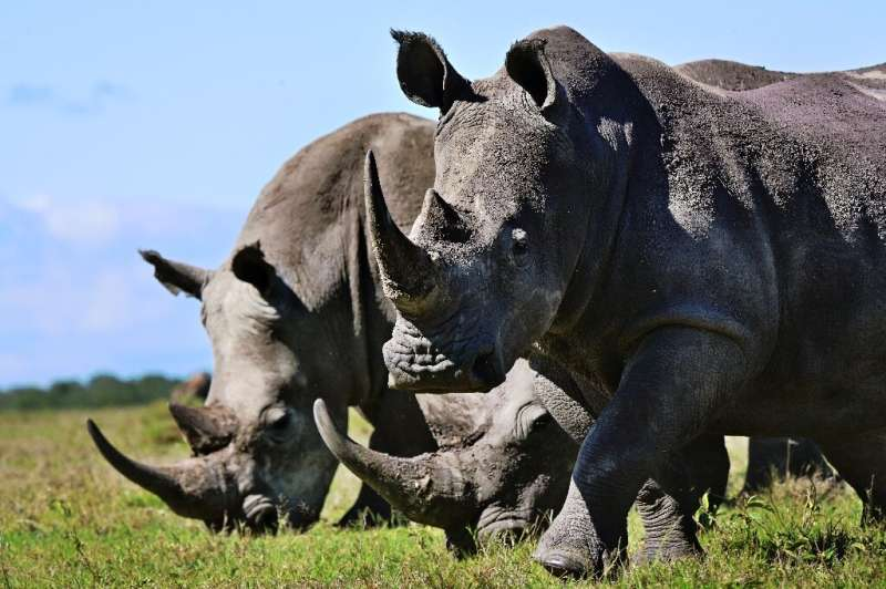 Rhinos, like those seen here in Kenya, are increasingly at risk in Botswana because of poaching
