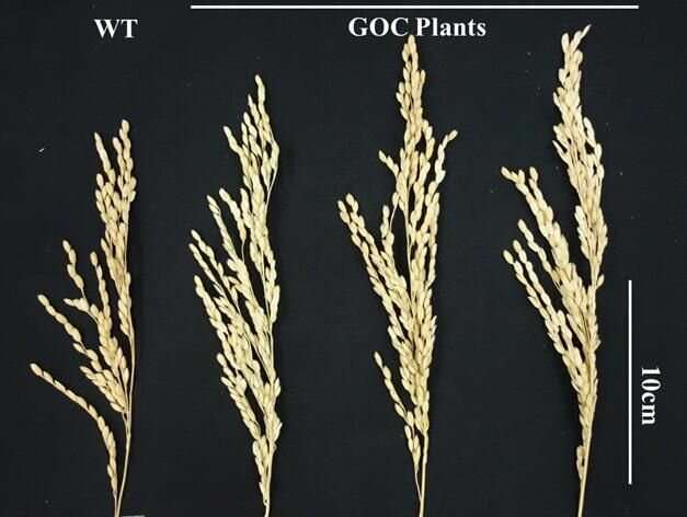 Rice plants engineered to be better at photosynthesis make more rice
