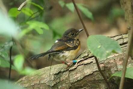 Road proximity may boost songbird nest success in tropics