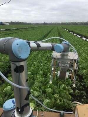Robot utiliza el aprendizaje automático para cosechar lechuga