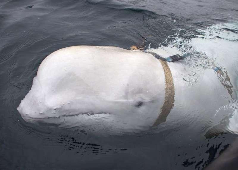 'Russian spy whale': the disturbing history of military marine mammals