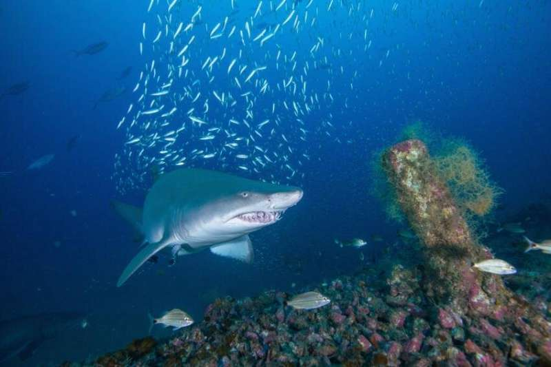 Sand tiger sharks return to shipwrecks off N.C. coast