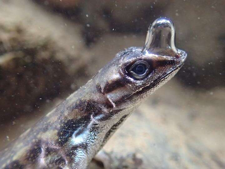'Scuba-diving' lizard can stay underwater for 16 minutes