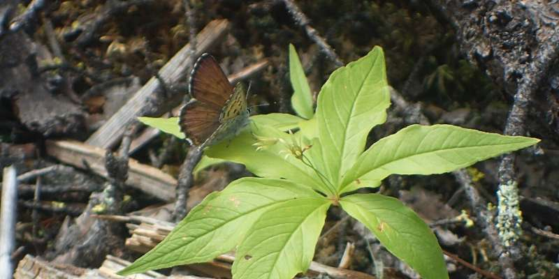 Seismic lines helped butterflies survive Fort McMurray wildfire, study shows