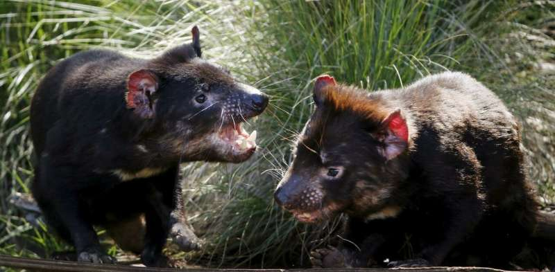 Sexual aggression key to spread of deadly tumours in Tasmanian devils