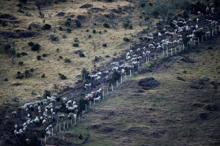 Sheep are herded in Cerrito by Eduin and Gilberto Conde—they are fans of the condor, but some farmers and ranchers say the birds