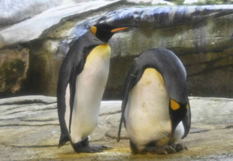 Skipper and his male partner Ping have begun taking care of a real egg at their enclosure in Berlin Zoo