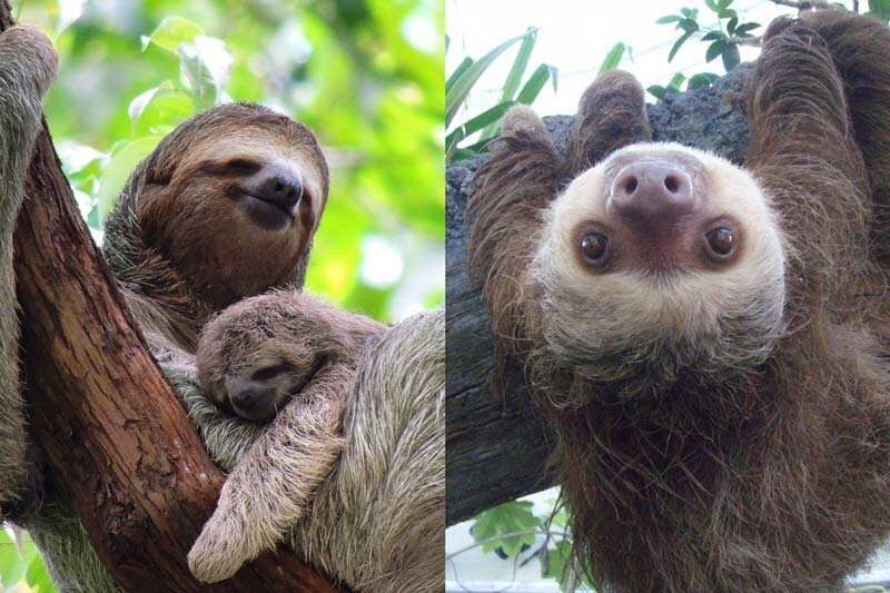 Sloths: how did two different animals wind up looking so similar?