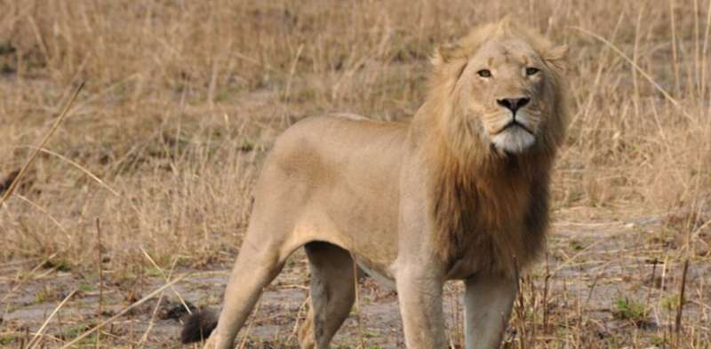 Sneaky lions in Zambia are moving across areas thought uninhabitable for them