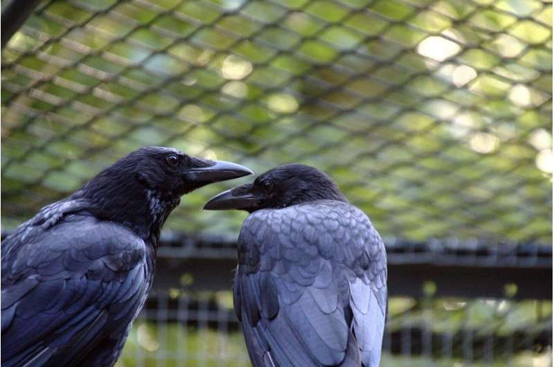 Sociable crows are healthier -- new research