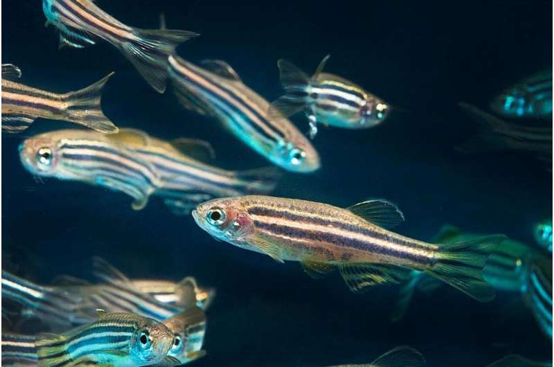 Special cells contribute to regenerate the heart in Zebrafish