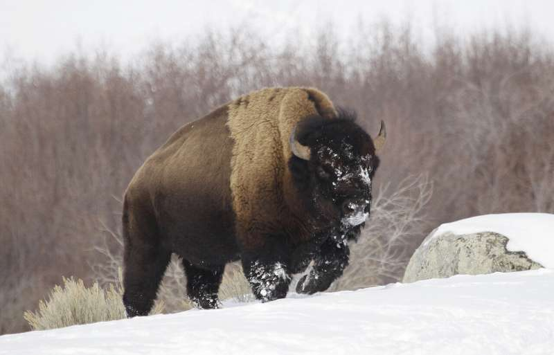 Squirrels, bees could get US aid but not Yellowstone's bison