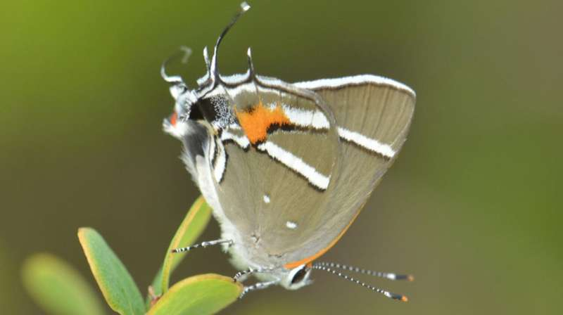 Study: Human management helps rare plants, butterflies survive hurricane