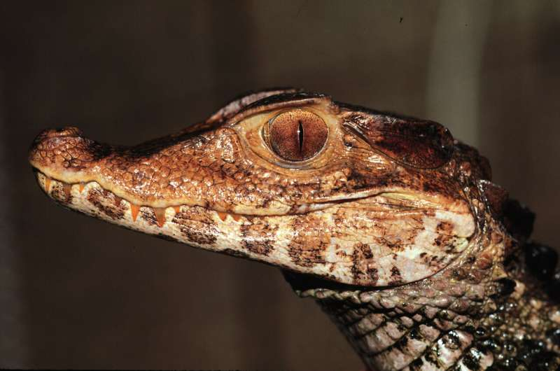 Study: Infamous 'death roll' almost universal among crocodile species