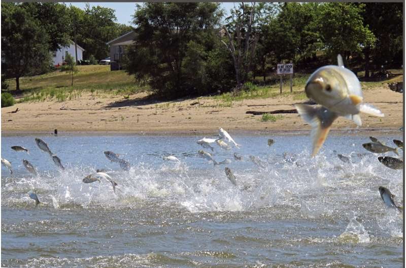 Study links Asian carp with Mississippi River fish drop