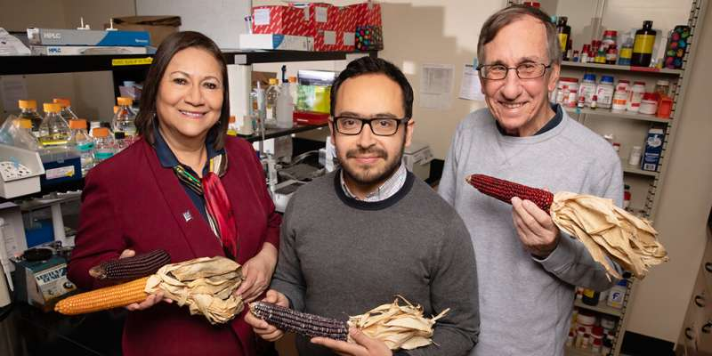 Study: Phenols in purple corn fight diabetes, obesity, inflammation in mouse cells