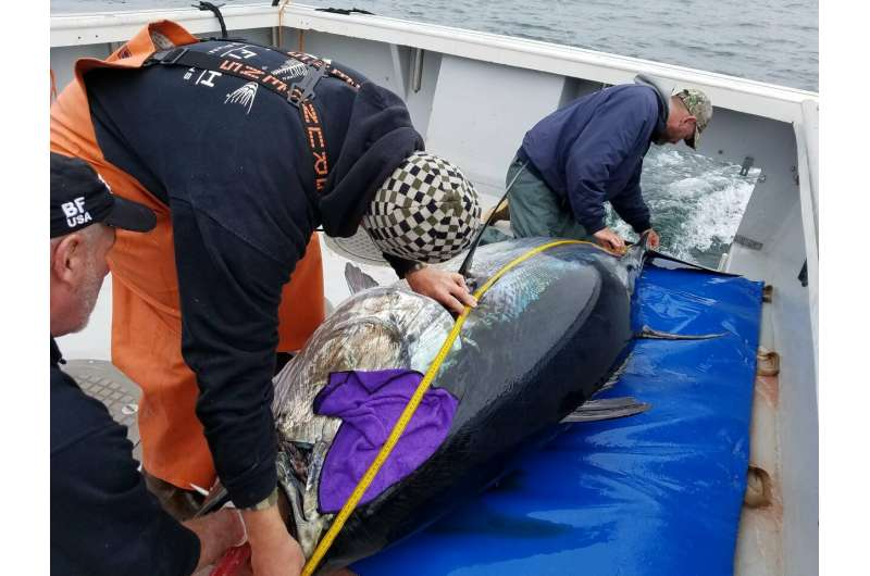 Tagged by scientists, bluefin tuna passing submerged listening lines help reveal species' survival