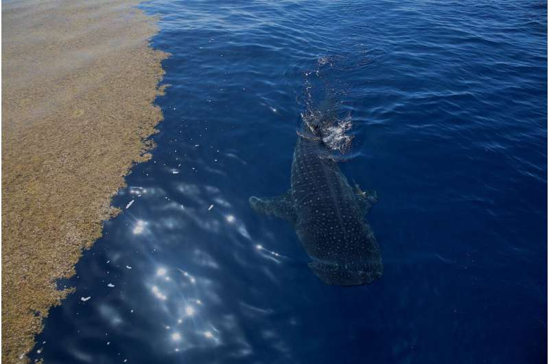 Tagged whale shark part of ongoing study by NSU's guy harvey research institute