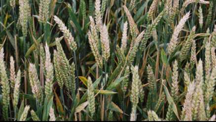 Targeting how fungi 'taste' wheat could be key to control