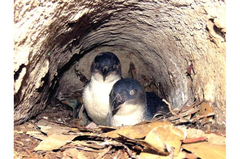 Tasmanian little penguin study casts light on foraging behaviour