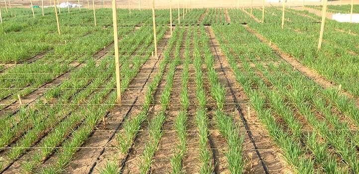 Testing barley's salt tolerance is a numbers game